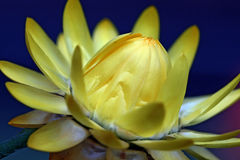 Yellow Flower. A single yellow flower not fully bloomed Royalty Free Stock Photography