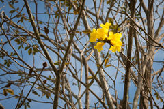 Yellow flower. Abundant lonely yellow flower on dry tree royalty free stock photography