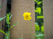 Yellow Flower Against a Wood Fence:. Yellow flower ready to bloom with a wood fence background Stock Photo