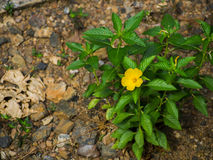 Yellow flower. Alone on ground Royalty Free Stock Photography