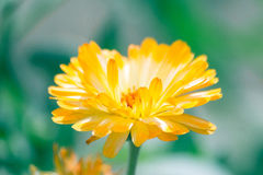 Yellow flower. Alone Yellow flower With Happpnes stock photography