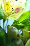 Yellow flower Alstroemeria Stock Photos
