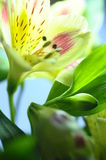 Yellow flower Alstroemeria Royalty Free Stock Photo