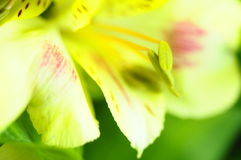 Yellow flower Alstroemeria Royalty Free Stock Photography