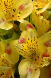 Yellow flower Alstroemeria Royalty Free Stock Images