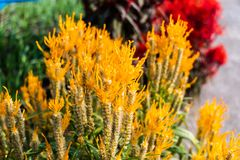 Yellow flower amaranth family. Celosia plumose plant. Summer flowering plants. Yellow flower amaranth family. Celosia plumose plant. Summer flowering plants in royalty free stock image