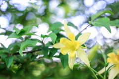 Yellow flower of aquilegia Royalty Free Stock Images