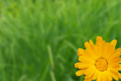 Yellow flower as a holiday postcard Royalty Free Stock Photography