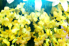 Yellow flower.Asian orchid species Stock Photo
