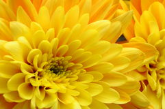 Yellow flower aster Royalty Free Stock Photos