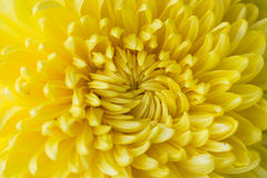 Yellow flower aster, daisy. Close up of yellow flower aster, daisy Royalty Free Stock Photos