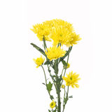 Yellow flower aster. Daisy on white background Royalty Free Stock Images