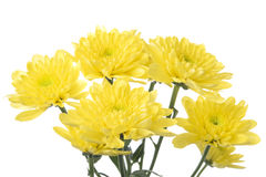 Yellow flower aster. Daisy on white background Stock Photo