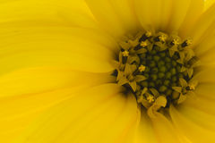 Yellow flower of autumn Royalty Free Stock Photo