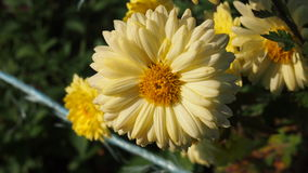Yellow flower. In autumn garden for background Royalty Free Stock Image