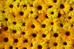 Calendula - floral background. Composition of beautiful yellow flowers of Calendula - background stock photo