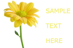 Yellow flower background royalty free stock photo