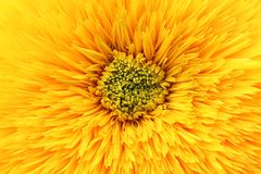 Yellow flower background. A beautiful yellow flower closeup abstract background royalty free stock photography