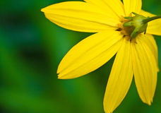 Yellow flower background Stock Photography