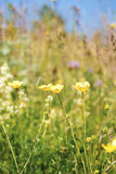Yellow flower background of buttercup Stock Images