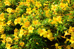 Yellow flower background Royalty Free Stock Photography