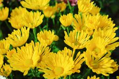 Yellow flower background Royalty Free Stock Images