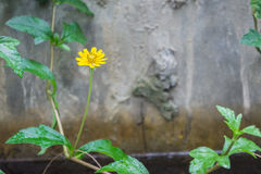 Yellow flower on background of a stone wall Stock Photography