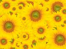 Yellow Flower Background, Summer or Spring Theme Royalty Free Stock Photo