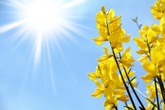 Yellow flower background. Yellow flower and sunshiny background Royalty Free Stock Photography