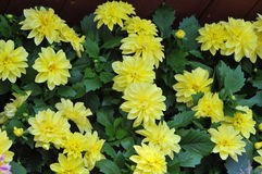 Yellow chrysanthemum. Stock Photo