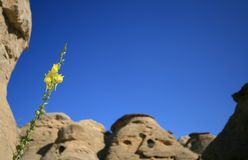 Yellow Flower in Badlands Stock Image