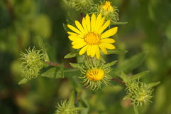 Yellow flower. A beautiful yellow flower is in full bloom on a sunny summer day Stock Image