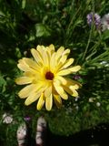 Yellow flower. A beautiful flower in my garden Stock Photos