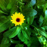 Yellow Flower. Beautiful yellow flower in nature Royalty Free Stock Photos