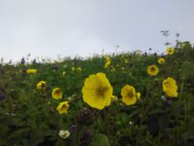 Yellow flower. Beautiful and so nice flower are standing front of me when I& x27;m traveling to a holly lake named bhrigu. its realy so beautiful Stock Image