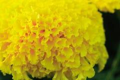 Yellow Flower. Beautiful Yellow Flower rama 9 park Bangkok Thailand stock photos