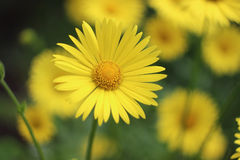 Yellow flower. Beautiful yellow sunny flowers background. Selective focus Royalty Free Stock Photos