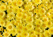 Yellow flower bed of asters Royalty Free Stock Photography