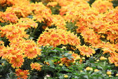 Yellow Flower bed Royalty Free Stock Image
