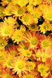 Yellow flower bed close-up Stock Image