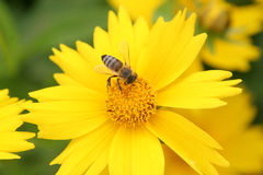 Yellow flower and bee Royalty Free Stock Photography
