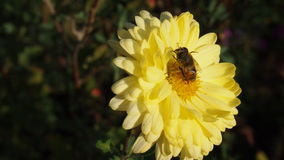 Yellow flower. With bee for background Stock Photos