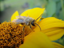 Yellow Flower with bee. The beautiful Yellow Flower with bee Stock Photo