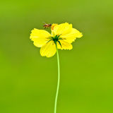 A yellow flower with a bee on green background Royalty Free Stock Photo