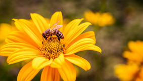 Yellow flower with bee inside Royalty Free Stock Photos