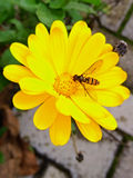 Yellow flower with bee Stock Photo