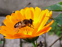 Yellow flower with bee Royalty Free Stock Images