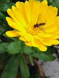 Yellow flower with bee Stock Photography