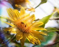 Yellow Flower and Bee Royalty Free Stock Images
