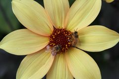 Yellow flower with bees Royalty Free Stock Photos